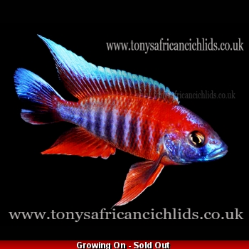 PAIR - Aulonocara Jacobfreibergi Eureka Half Coloured Select *Line Bred* - COLOURED SEXED PAIR 8-10cm/4-5